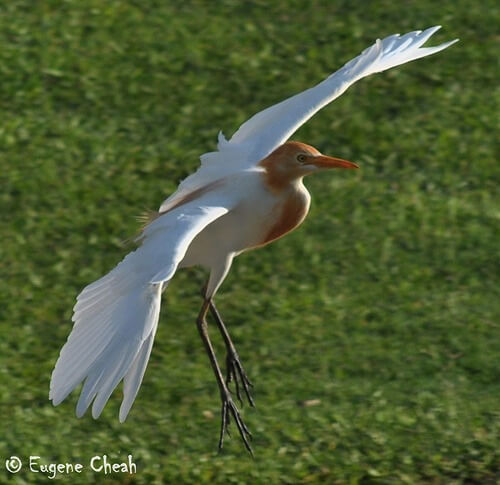 Cattle Egret2
