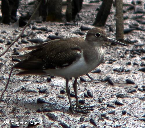 Common sandpiper2