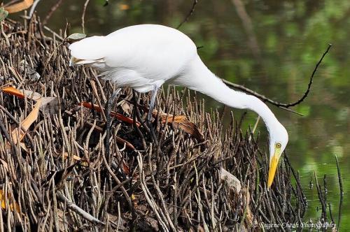 Intermediate Egret(edited)