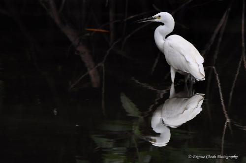 Little Egret (2)