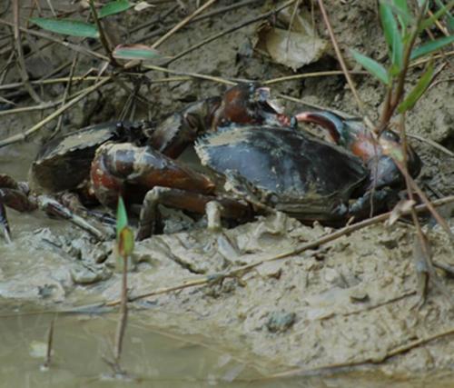 Mud crabx