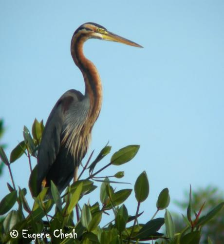 Purple heron1
