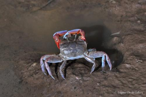 Red silt crab