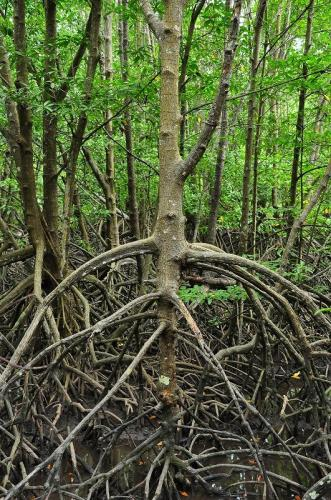 Rhizophora apiculata - stilt roots