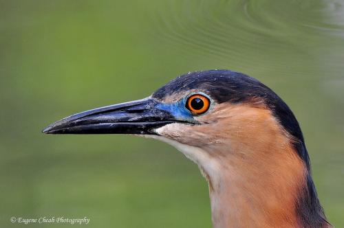 Rufous night heron close up view1