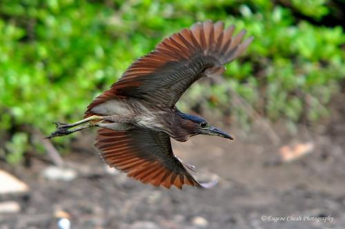 Rufous night heron in flight