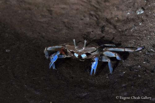 Sentinel Crabsx