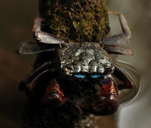 Sesarmine crab (1)