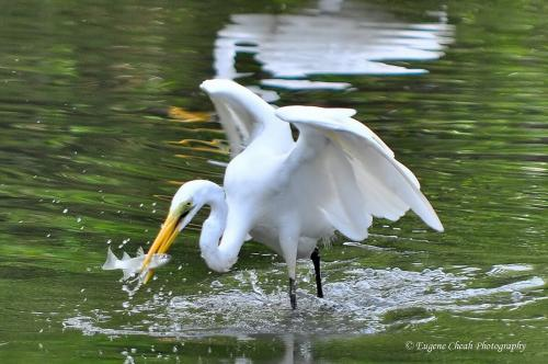 great egret (migratory)