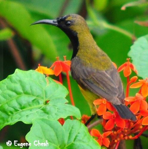 olive backed sunbird male