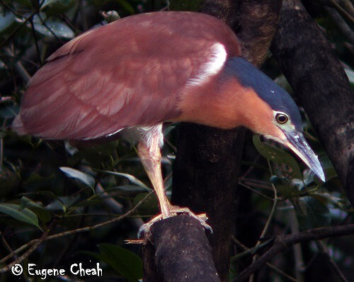 rufous night heron-x