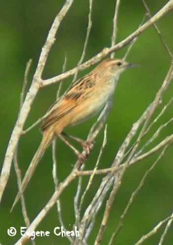 striated grass bird
