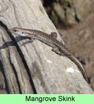mangrove-skink
