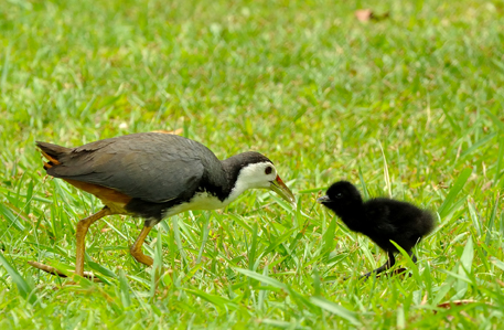 White Breasted Water Hen with chick