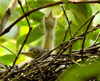 Little Heron Chicks